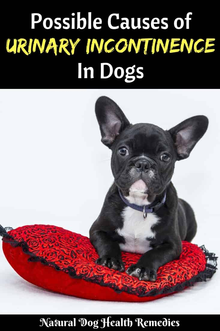Dog Urinary Incontinence | Causes and Treatment