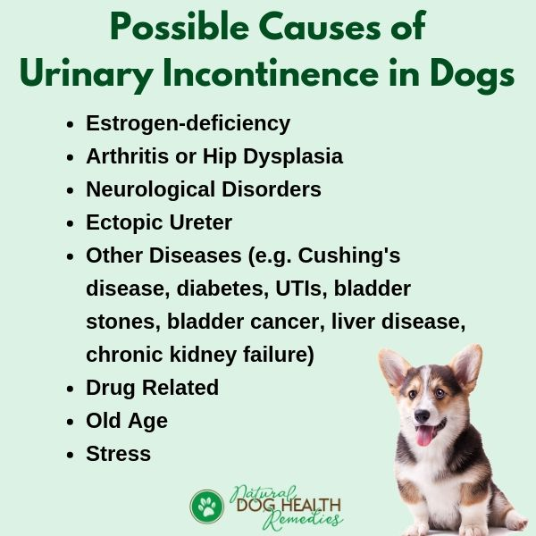 Dog Urinary Incontinence Causes
