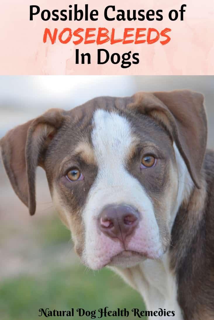 Dog Nosebleeding Causes and Treatment