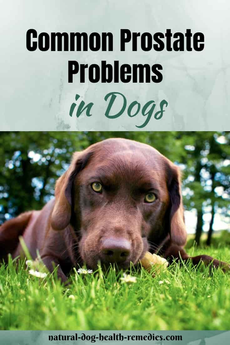 Dog Prostate Problems Prevention And Treatment