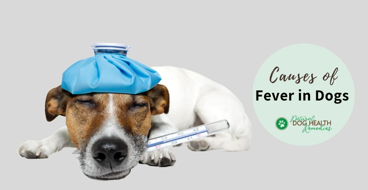 How To Take A Dog S Temperature Dog Fever Symptoms