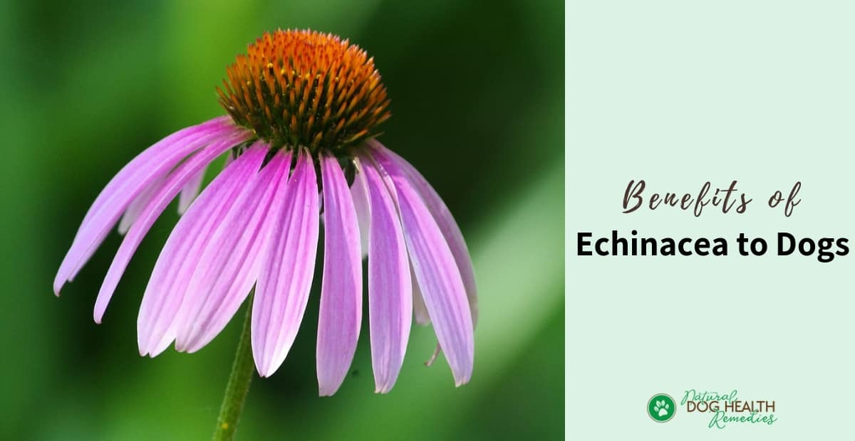 Echinacea Benefits for Dogs