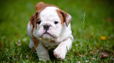 Puppy Walking on Grass