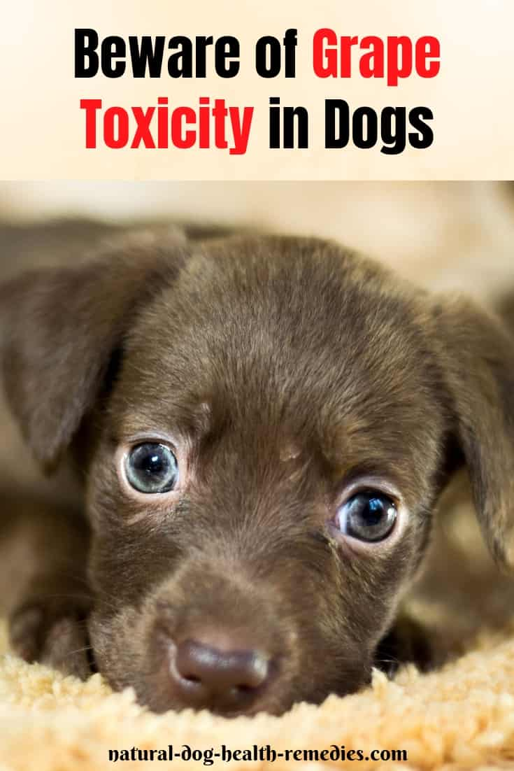 Grape Toxicity in Dogs