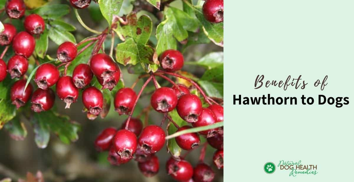 Hawthorn Benefits for Dogs