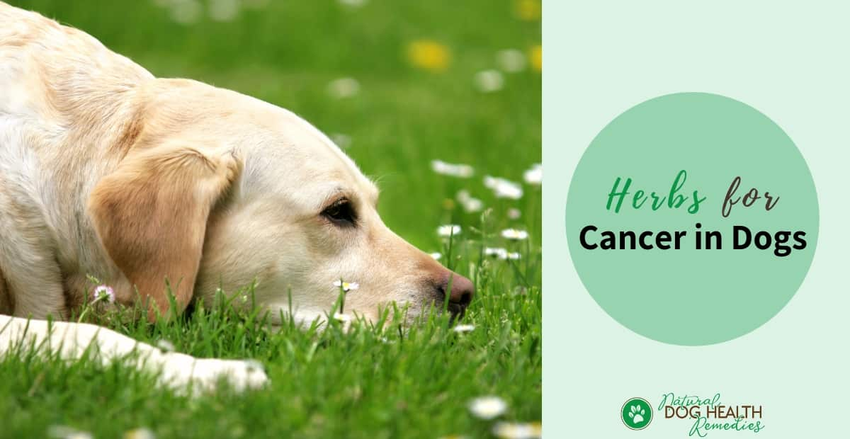 Herbs for Cancer in Dogs