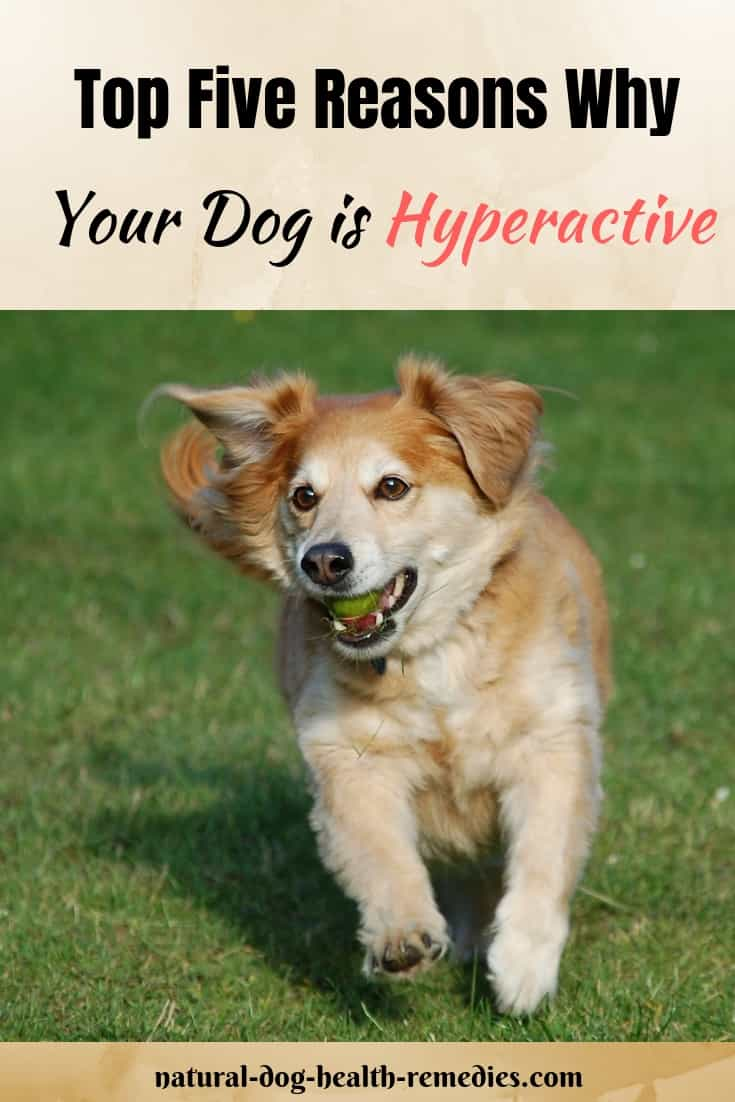 Symptoms of Hyperactive Dogs