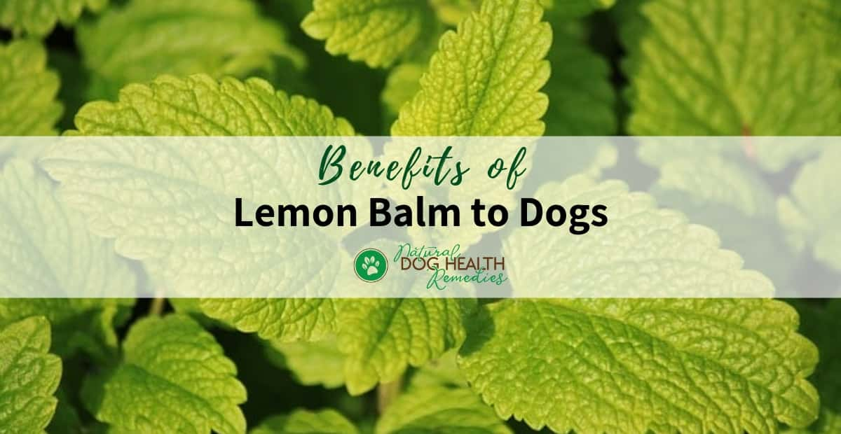 Lemon Balm Benefits for Dogs