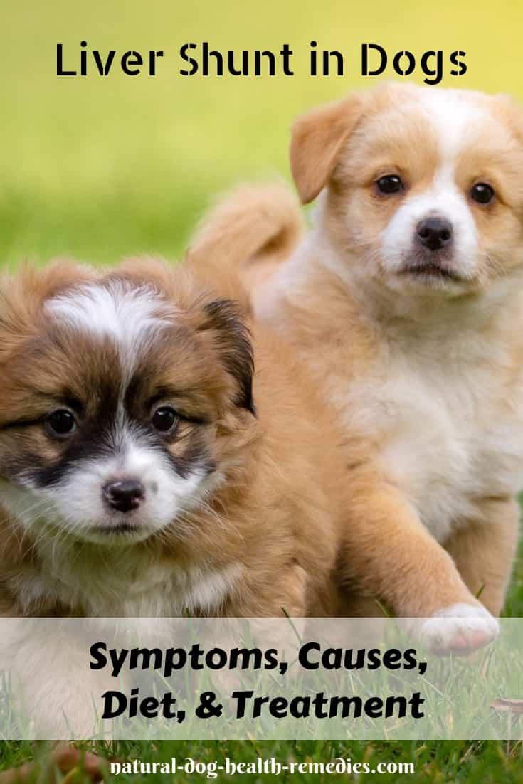 Symptoms of Liver Shunt in Dogs