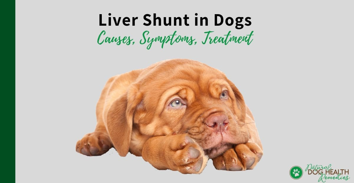Liver Shunt In Dogs Causes Symptoms Diet Amp Treatment