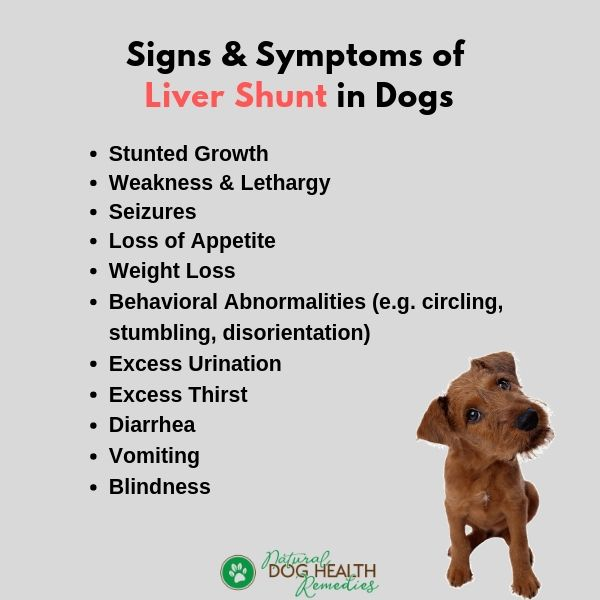 Dog Liver Shunt Symptoms