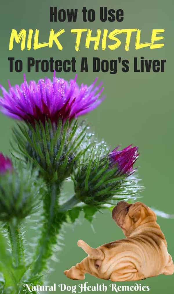 Milk Thistle For Dogs Benefits And Usage