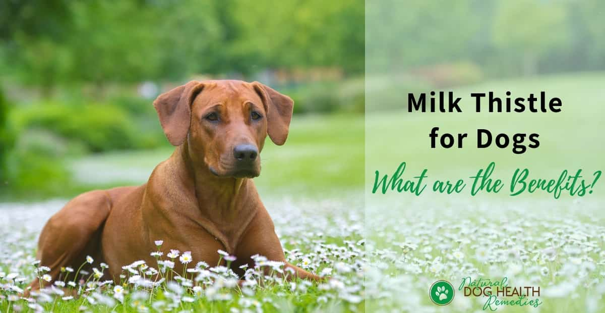 Benefits of Milk Thistle to Dogs