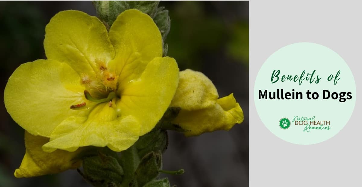 Mullein Benefits for Dogs