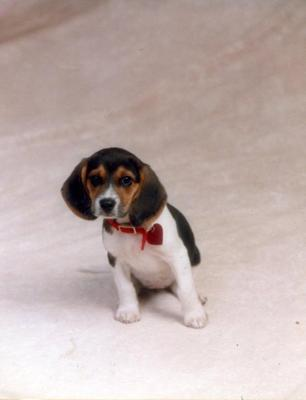 Tipper at her first formal portrait as a puppy.