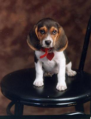 Another formal portrait of Tipper as a puppy