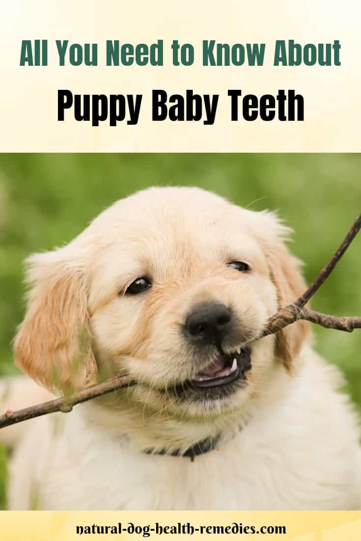 Puppy Baby Teeth and Puppy Teething
