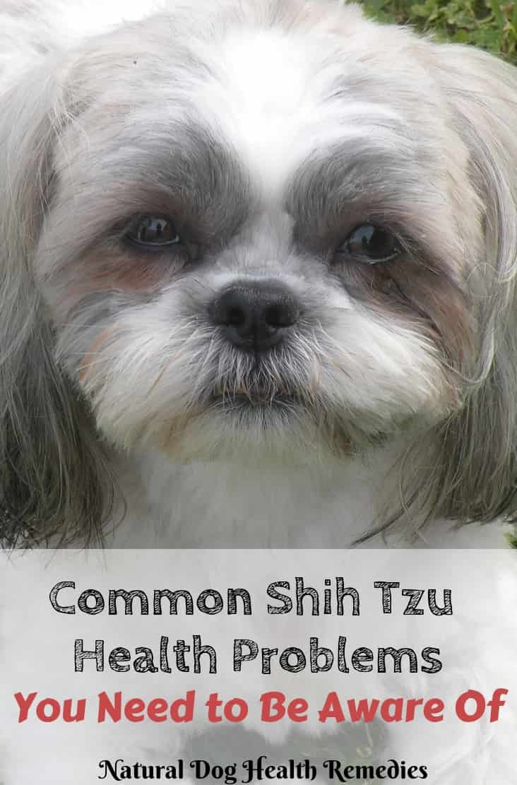 Common Shih Tzu Health Problems
