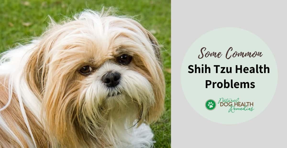 Shih Tzu Health Problems