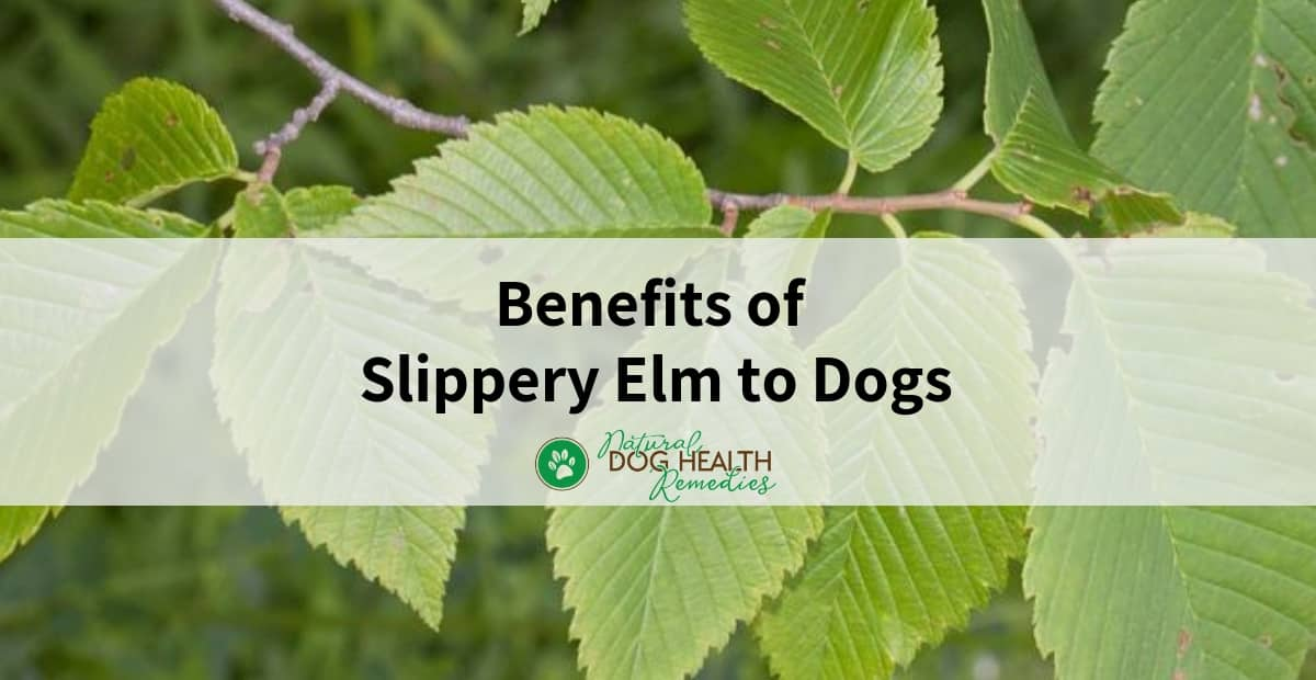 Slippery Elm Benefits for Dogs
