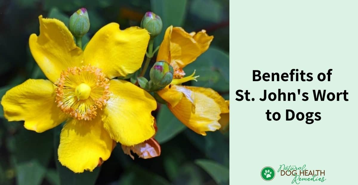 St. John's Wort Benefits for Dogs