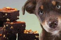 Dog Looking at Chocolate