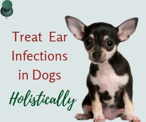 Dog Ear Infection Remedies