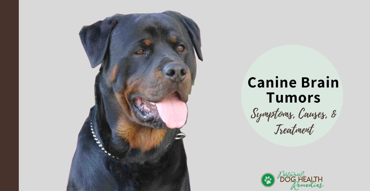 Canine Brain Tumors | Symptoms, Causes and Treatment