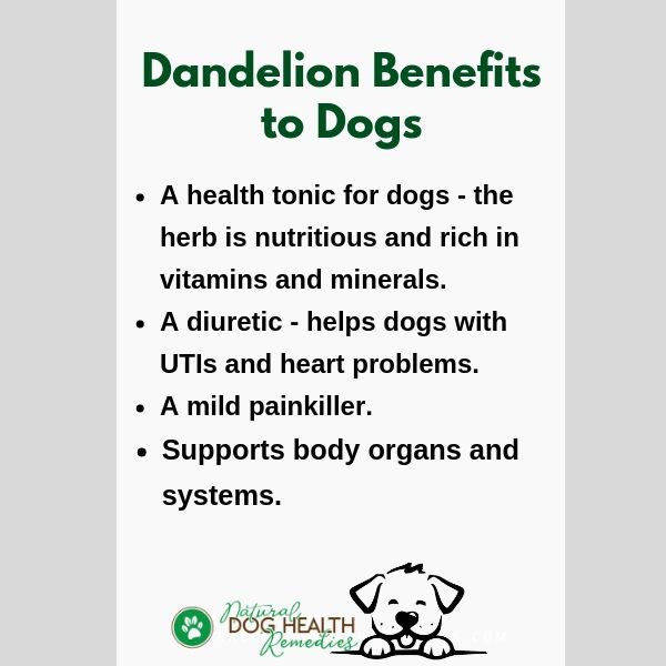 Benefits of Dandelion to Dogs