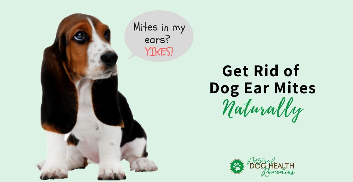 Dog Ear Mites | Symptoms, Treatment & Home Remedies