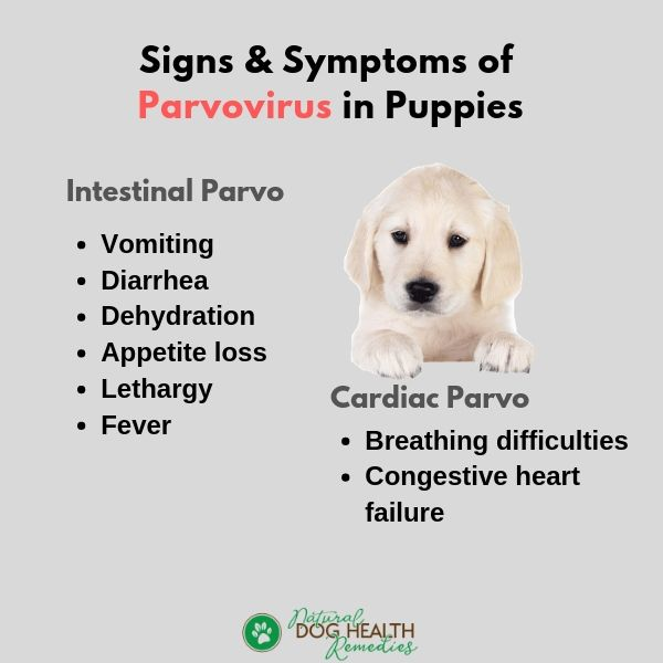 Symptoms of Parvovirus in Puppies