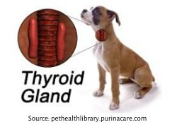 Dog Thyroid Gland