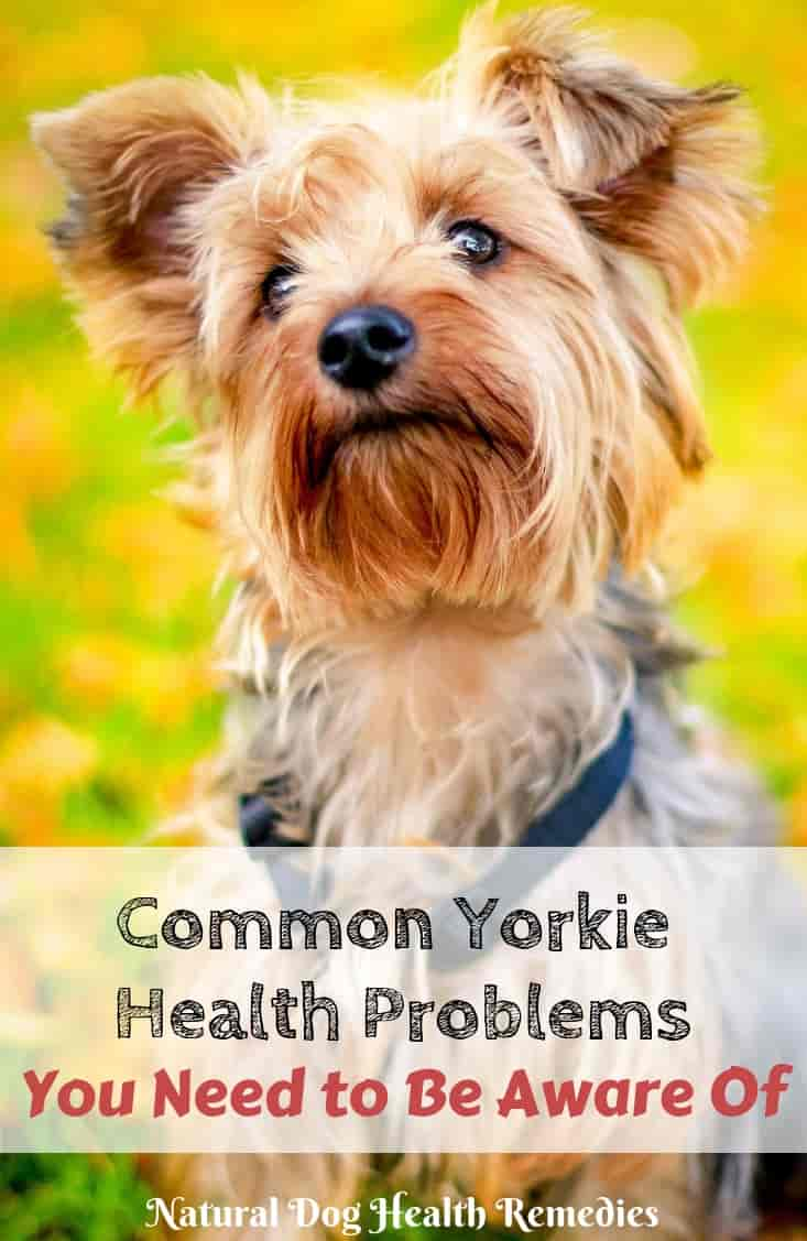 Yorkie Health Problems